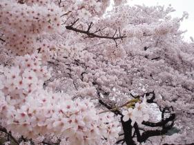 Tokyo Shinjuku Gyoen National Garden sakura cherry blossom cseresznyefavirag