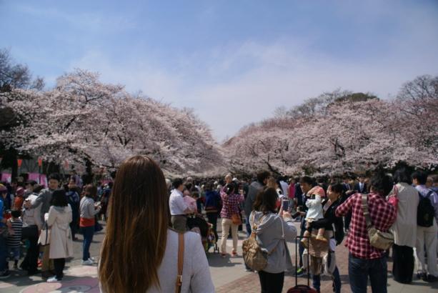 Tokyo ueno park sakura cherry blossom cseresznyefavirag