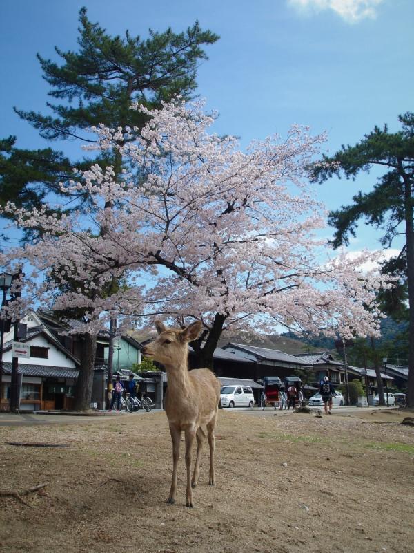 Nara Japan Deer Park Cherryblossom