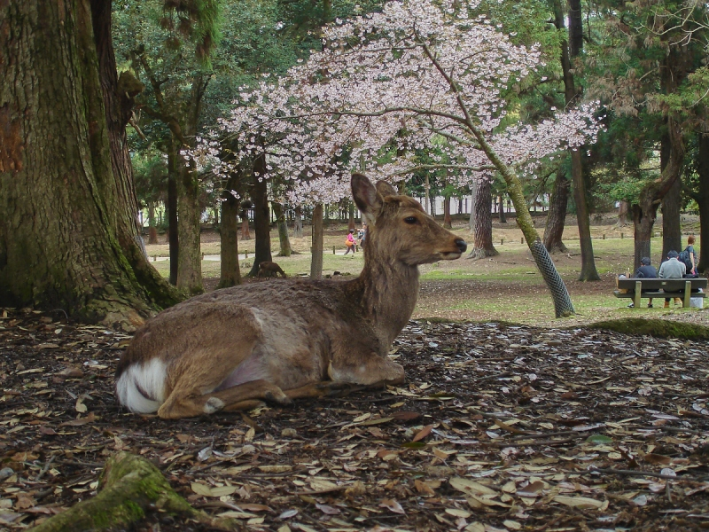 Nara Japan Deer Park