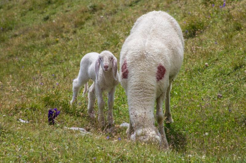 italy dolomites valuing mountain rifugio puez selva di val gardena sheep