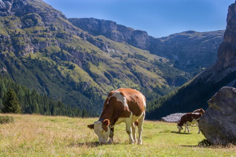 italy dolomites valuing mountain rifugio puez selva di val gardena cow