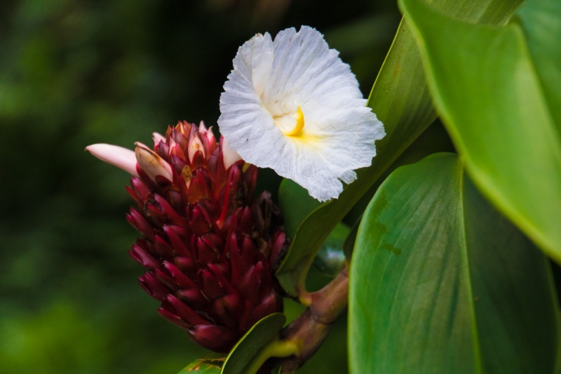 Hawaii Akaka Falls Flower