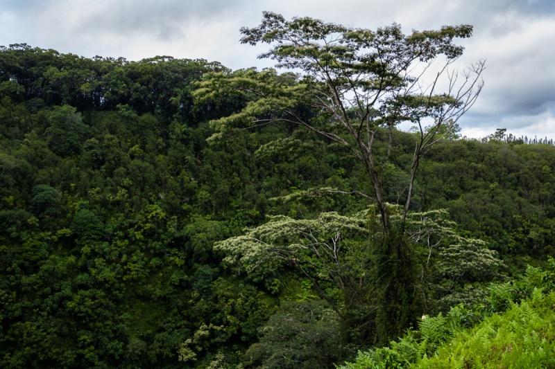 Hawaii Akaka Falls Forest