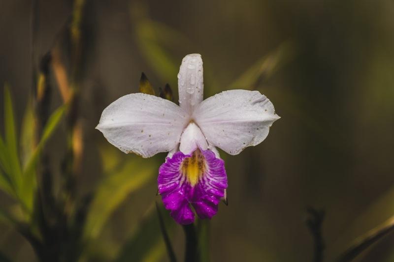 hawaiibig island volcano national park flower orchid
