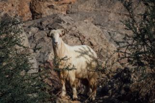 Oman Mountain Goat