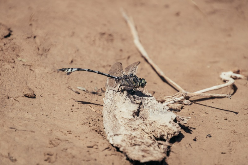 Oman Wadi Shab Dragonfly