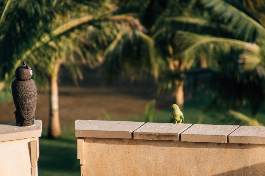 Parrot at Al Bustan Palace Garden, Muscat, Oman