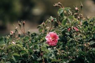 Rose Garden at Jabal Akhdar Oman