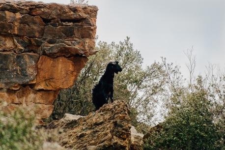 Goat at Jabal Akhdar Oman