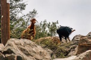 Goats at at Jabal Akhdar Oman