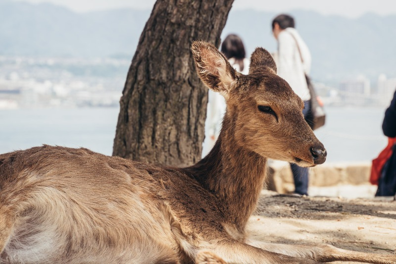 Deer in Miyajima, Japan