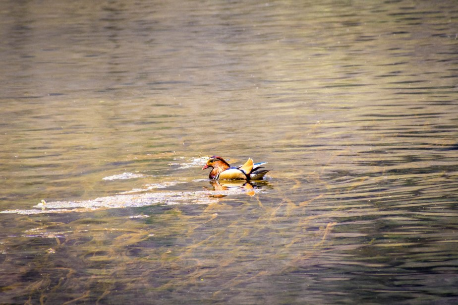 Mandarin duck Kamikochi