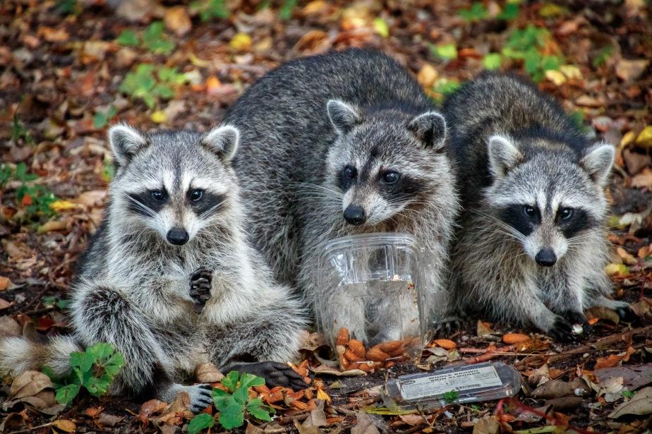 Key Biscayne Raccoons